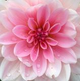 Closeup of a pink Dahlia flower Royalty Free Stock Photography
