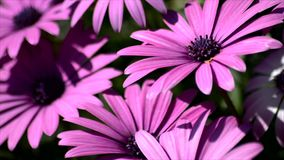 Closeup of pink daisies moving with the wind stock footage
