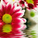 Closeup of pink daisy-gerbera. Reflected in the water Stock Photos
