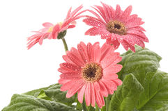 Closeup of pink daisy with water droplets. Isolated on the white background Stock Photos
