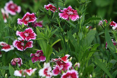 Closeup of pink Dianthus Royalty Free Stock Photography