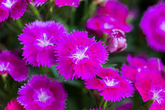 Closeup of pink Dianthus Chinensis Flowers Royalty Free Stock Photography