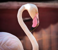 Closeup of Pink Flamingo. Curving gracefully its neck royalty free stock image