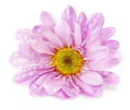 Closeup of pink flower Royalty Free Stock Photography
