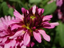 Closeup of pink flower royalty free stock images