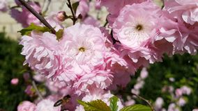 Closeup of pink flower clusters of an flowering plum or flowering almond in full bloom in spring. Light breeze, sunny day, dynamic scene, 4k video stock footage