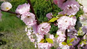 Closeup of pink flower clusters of an flowering plum or flowering almond in full bloom in spring. Light breeze, sunny day, dynamic scene, 4k video stock video footage