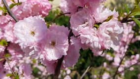 Closeup of pink flower clusters of an flowering plum or flowering almond in full bloom in spring. Light breeze, sunny day. Dynamic scene, 4k video stock footage