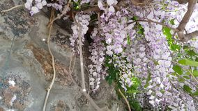 Closeup of pink flower clusters of an Wisteria in full bloom in spring. Light breeze, sunny day, dynamic scene, 4k video stock footage