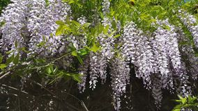 Closeup of pink flower clusters of an Wisteria in full bloom in spring. Light breeze, sunny day, dynamic scene, 4k video stock video footage