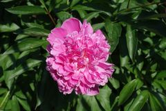 Closeup of pink flower of peony in spring royalty free stock image