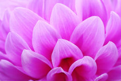 Closeup of pink flower floral background Stock Photos