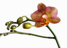Closeup, Pink  flower Phalaenopsis orchid isolated on white back Royalty Free Stock Images