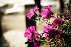 Closeup on pink flower with siluate. In summer Stock Images