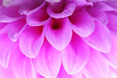 Closeup of pink flower with soft focus floral background Royalty Free Stock Images