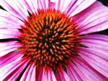 Closeup of Pink Flower Stamen Royalty Free Stock Images