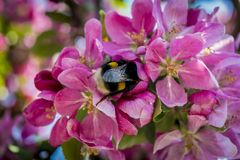 Closeup of pink flowers, bee. Royalty Free Stock Images
