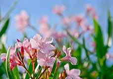 Closeup of pink flowers in garden with blue sky background Royalty Free Stock Photos