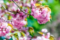 Pink flowers of sakura branches. Closeup of pink flowers with shallow depth of field on the branches of Japanese sakura  bloomed  in spring green garden blurred Stock Photos