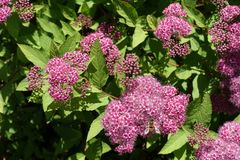 Closeup of pink flowers of Spiraea japonica in late May stock photo