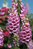 Closeup of pink foxgloves. Pink foxgloves growing in a cottage garden Stock Photography