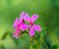 Closeup on pink geranium. In a garden in a sunny day, nature, beautiful, bloom, spring, blossom, green, flower, plant, summer, color, blooming, petal, floral royalty free stock photos