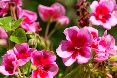 Closeup on pink geranium. In a garden in a sunny day, nature, beautiful, bloom, spring, blossom, green, flower, plant, summer, color, blooming, petal, floral stock photo