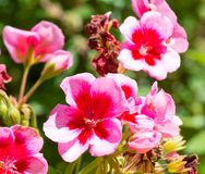 Closeup on pink geranium. In a garden in a sunny day, nature, beautiful, bloom, spring, blossom, green, flower, plant, summer, color, blooming, petal, floral stock photos