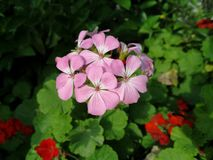Closeup of pink geranium Pelargonium. With green leaves and red flowers geranium background stock photo