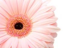 Closeup pink gerbera Royalty Free Stock Images