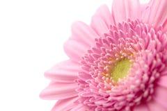Closeup pink gerbera Stock Photography