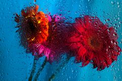 Closeup on pink gerbera daisy flower behind wet Royalty Free Stock Images