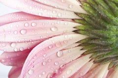 Closeup pink gerbera daisy flower Stock Images