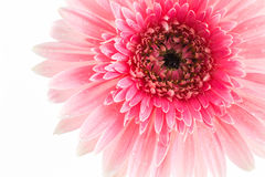 Closeup a pink gerbera daisy flower. Stock Photos
