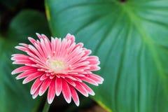 Closeup of a pink gerbera daisy flower. Royalty Free Stock Photography