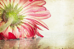 Closeup pink gerbera daisy flower Stock Image