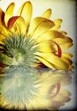 Closeup pink gerbera daisy flower Royalty Free Stock Photos