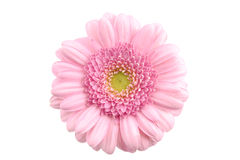 Closeup pink gerbera isolated Stock Photo