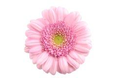 Closeup pink gerbera isolated Stock Photo