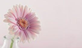Closeup of pink gerbera Royalty Free Stock Photography