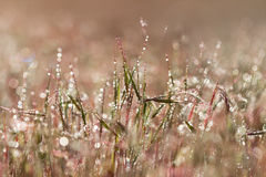 Closeup pink grass with droplets of dew in the morning sun Stock Photos