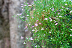 Closeup pink Gypsophila Stock Photography