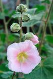 Closeup of pink  hollyhock (Alcea rosea). Stock Photography