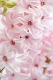 Closeup of pink hyacinth Royalty Free Stock Images
