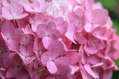 Closeup of Pink Hydrangea Blossoms Royalty Free Stock Photo