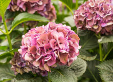 Closeup of pink hydrangea flowers in a hydrangea nursery Stock Photography