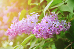 Closeup of pink lilac flowers in bloom - pastel and soft focus processing Stock Photography