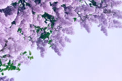 Closeup of pink lilac flowers - pastel and soft focus processing. Background with free space for text. Stock Photography