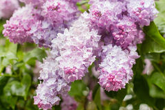 Closeup of pink lilac flowers Royalty Free Stock Photography