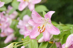Closeup of pink lily flowers Royalty Free Stock Images